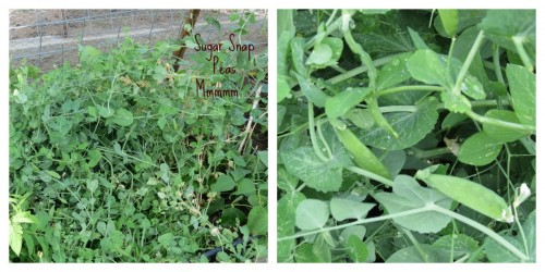 Sugar Snap Peas1